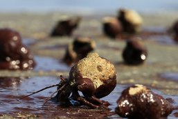 Thaïlande: bernard-l'ermite recherche coquille désespérément