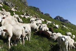 22 loups et 302 animaux de rentes tués en Valais en 2020
