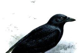 Des corbeaux très prévoyants