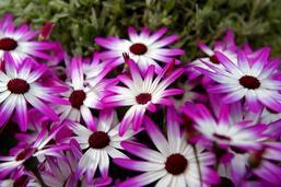 Plantes à fleurs: le mystère se fane