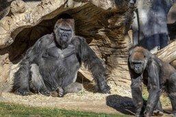 Des gorilles du zoo de San Diego testés positifs au coronavirus