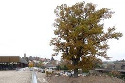 Vers l'abattage du chêne