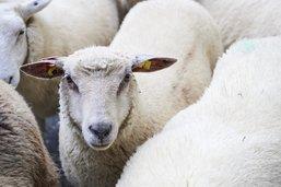 Il est l'heure de compter les moutons!