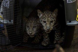 Deux jaguars sauvés de trafiquants grâce aux réseaux sociaux