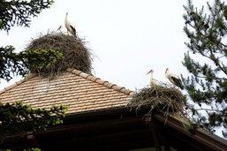 Baguage de cigogneaux à Avenches