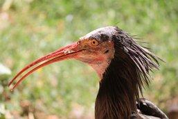 L'ibis chauve dans la Broye